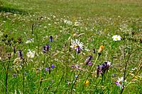 Switzerland, Europe, Canton Valais, Goms, alpine, alps, mountain flowers, flowering, blossom, meadow, nature, vegetati