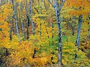 Fall colours along the Miramichi River New Brunswick, Canada