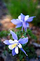 Two Colorado columbines grow back to back in the San Juan Mountains, Colorado, USA