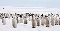 Emperor Penguin Aptenodytes forsteri, chicks at Snow Hill Island, Weddel Sea, Antarctica