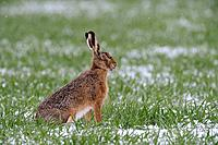 Brown hare, European brown hare, Lepus europaeus, March, Germany
