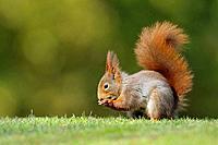 Red squirrel, Sciurus vulgaris, Germany
