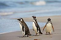 Magellanic penguin Spheniscus magellanicus in surf, Falkland Islands, South Atlantic Ocean