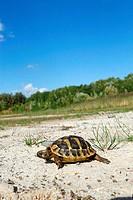 Tunisian Spur_thighed Tortoise / Testuda graeca nabeulensisrestrictions: Tierratgeber_Bücher / animal guidebooks