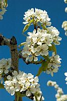 Fruit trees in bloom in Eastern Washington,,