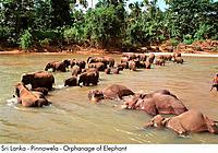 Sri Lanka _ Pinnawela _ Orphanage of Elephant