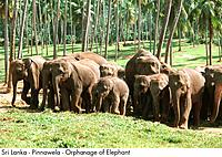 Sri Lanka _ Pinnawela _ Orphage of Elephant