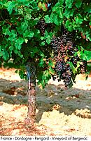France _ Dordogne _ Perigord _ Vineyard of Bergerac