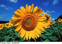 France _ Gers _ Sunflower