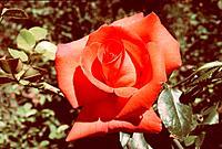 Rosa _ Rose