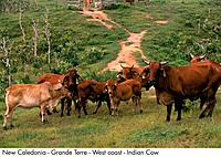 New Caledonia _ Grande Terre _ West coast _ Indian Cow