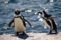 South Africa _ Cape Town _ Simon's Town _ Penguin