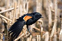 Red_winged Blackbird, male, spreading its wing, Quebec, Canada, Agelaius phoeniceus
