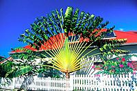 French Caribbean _ Caribbean Islands _ Les Saintes _ Traveller's Tree