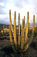 USA _ National Park _ Arizona _ Organ pipe