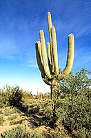 USA _ National Park _ Arizona _ Saguaro