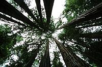 USA _ National Park _ Californie _ Muir Woods