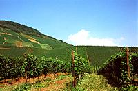 Germany _ Moselle _ Vineyard