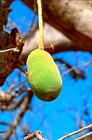 Senegal _ Fruit du Baobab