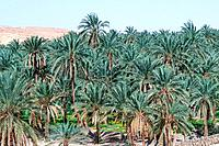 Tunisia - The South - Chott el Jerid Region - Montain Oasis - Tozeur Region - Mides Oasis (thumbnail)