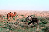 Tunisia _ The South _ Chott el Jerid Region _ Nefta surroundings _ Onk Jemel site _ Dromedary