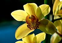 Orchid _ yellow _ exotic beauty _ demure seduction _ erotic