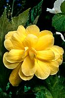 Begonia _ yellow _ double _ veined _ elegant