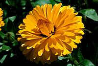 Calendula officinalis _ yellow _ amber fringed _ dazzled and shy