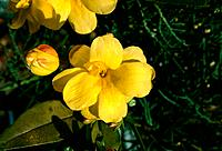 Jasminum mesnyi _ yellow _ sunny blooms from late winter onwards