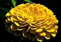 Zinnia _ yellow _ a beautiful sturdy flower and yet passing