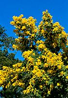 Acacia dealbata _ yellow flowers enlighting the blue mediterranean sky during winter