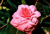 Camellia _ pink _ sophisticated _ refined _ elegant in morning dew