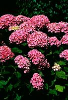 Hydrangea _ pink _ bush _ impressive _ ornemental