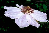 Clematis dawn _ pale pink _ enchanting with a conspicuous heart of abundant stamens