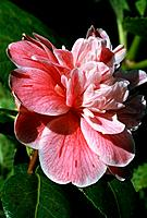 Camellia _ pink with red veins _ double _ sophisticated _ refined _ elegant _