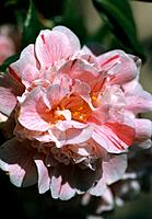 Camellia _ pink with red veins _ double _ sophisticated _ refined _ attractive ruffles