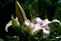 Lilium _ pale lilac _ cospicuous pistils and anthers _ a prominent bud