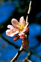 Prunus dulcis _ blue spring sky _ branch of pink buds and flowers opening delicate petals on yellow stamens