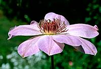 Clematis dawn _ profile _ pale pink _ enchanting with a conspicuous heart of abundant stamens