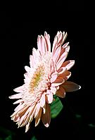 Gerbera jamesonii _ pale pink profile offered to the morning sun