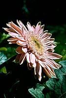 Gerbera jamesonii _ pale pink profile _ very attractive corolla of narrow petals