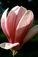 Magnolia soulangeana _ white _ purple veins _ mysterious