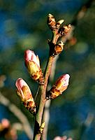 Prunus persica _ branch of pink buds _ spring _ promising
