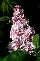 Syringa vulgaris _ lilac _ double _ spring _ conical bunch of small fragrant flowers in a green casket