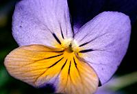 Viola tricolor _ light purple _ deep purple _ yellow _ a delicate eye make_up