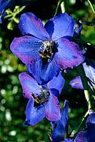 Delphinium Elatum _ radiant blue _ panicle of bright flowers _ sophisticated perianth