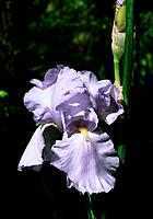 Iris rhizomatous _ pale blue _ ephemeral charm and perfection