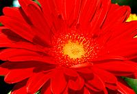 Gerbera jamesonii _ scarlet red _ radiant _ sophisticated _ elegant _ sprinkle of gold