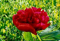 Paeonia lactiflora _ reddish_purple petals and petaloids _ dazzling passion