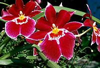 Orchid _ purplish_crimson _ disturbing beauty